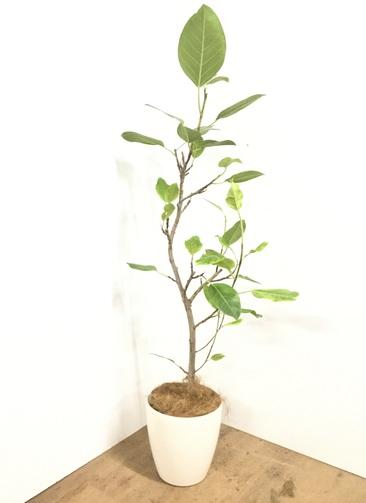 観葉植物 【160cm】【鉢カバー付】フィカス アルテシーマ 8号 #22112