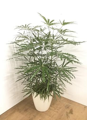 観葉植物 【120cm】【鉢カバー付】 グリーンアラレア 8号  #22113