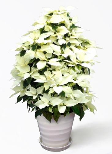 ポインセチア 9号 白 プラスチック鉢