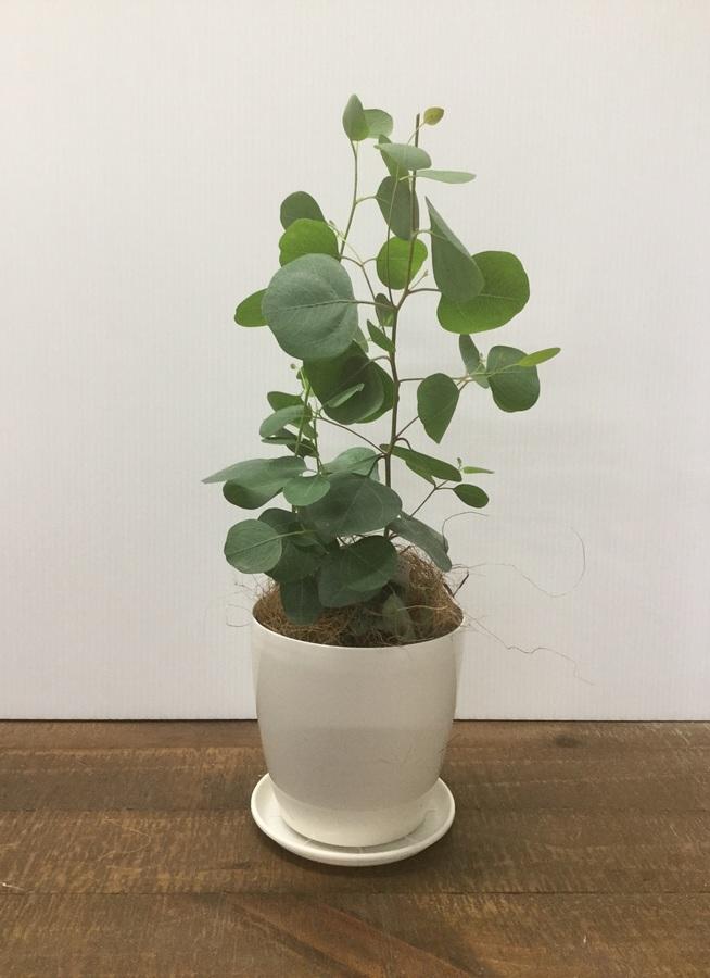 観葉植物 【40cm】【鉢カバー付】ユーカリ ポポラス(ポリアンセモス)  3号 #22124
