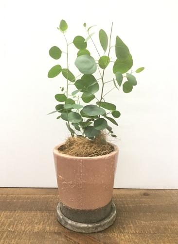 観葉植物 【40cm】【鉢カバー付】ユーカリ ポポラス(ポリアンセモス) 3号 #22126