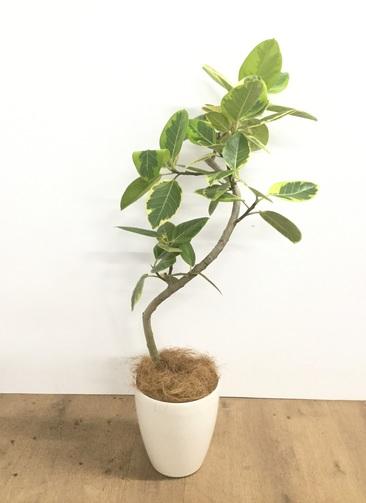 観葉植物 【100cm】【鉢カバー付】フィカス アルテシーマ 6号 曲り #22132