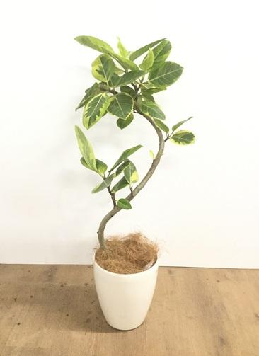 観葉植物 【100cm】【鉢カバー付】フィカス アルテシーマ 6号 曲り #22133
