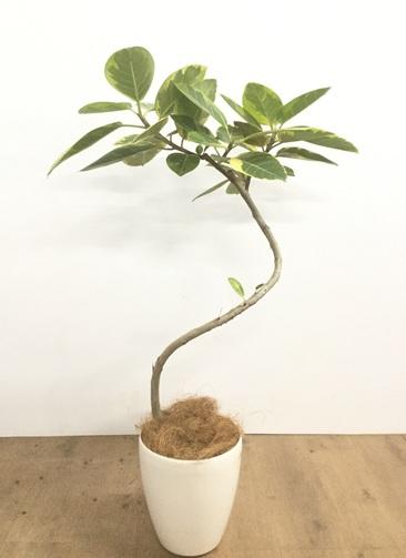 観葉植物 【100cm】【鉢カバー付】フィカス アルテシーマ 6号 曲り #22134