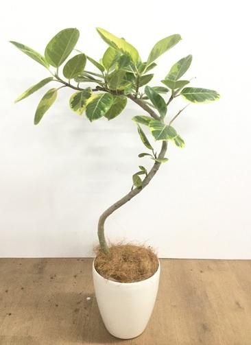 観葉植物 【100cm】【鉢カバー付】フィカス アルテシーマ 6号 曲り #22135