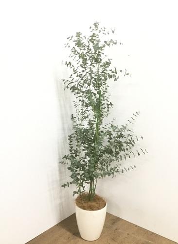 観葉植物 【140cm】【鉢カバー付】ユーカリ 6号 グニー #22138