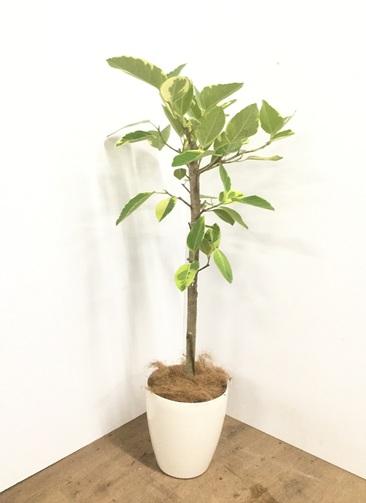 観葉植物 【125cm】【鉢カバー付】フィカス アルテシーマ 7号 #22139