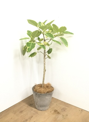 観葉植物 【125cm】【鉢カバー付】フィカス アルテシーマ 7号 #22140