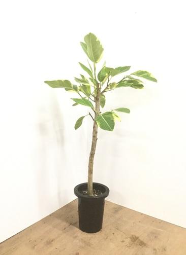 観葉植物 【110cm】フィカス アルテシーマ 7号 #22141