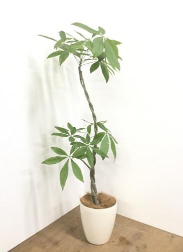 観葉植物 【145cm】【鉢カバー付】パキラ 7号 ねじり #22142
