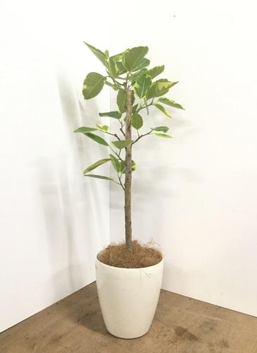 観葉植物 【110cm】【鉢カバー付】フィカス アルテシーマ 7号 ストレート #22143