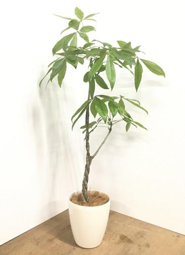 観葉植物 【140cm】【鉢カバー付】パキラ 7号 ねじり #22145