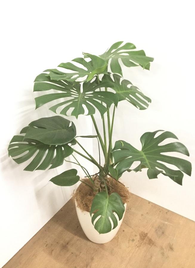 観葉植物 8号 ボサ造り 【100cm】【鉢カバー付】モンステラ 8号 #22147