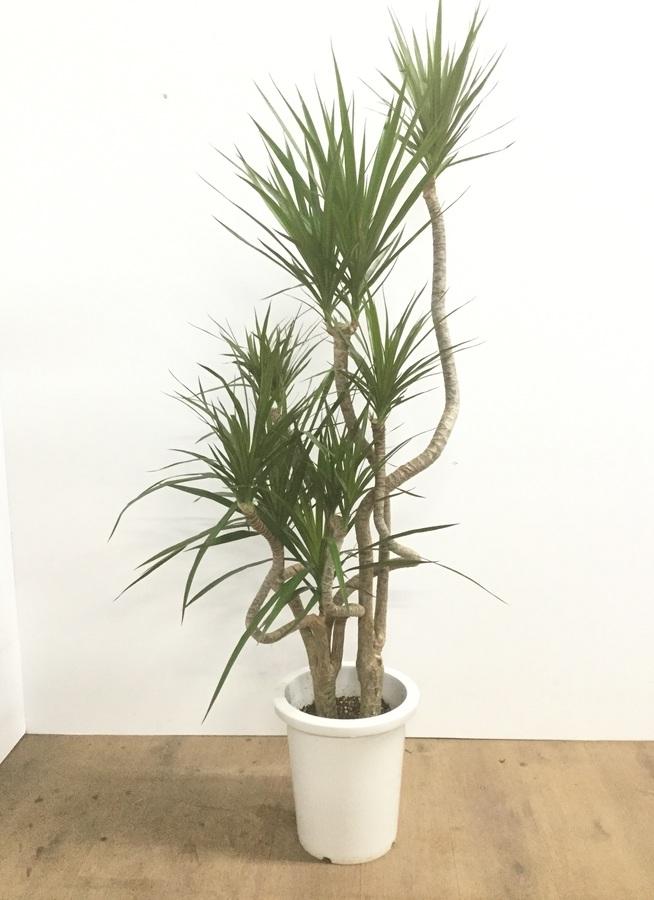 観葉植物 【140cm】ドラセナ コンシンネ 8号 曲り #22148