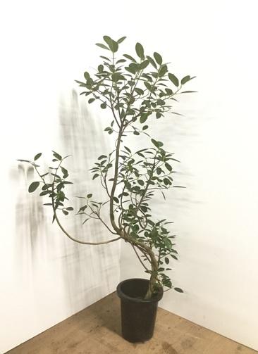 観葉植物 【150cm】フランスゴムの木 8号 曲り #22150