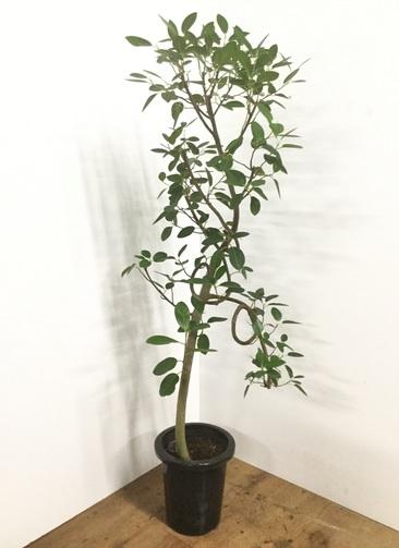 観葉植物 【145cm】フランスゴムの木 8号 曲り #22152