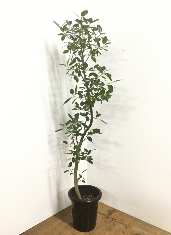 観葉植物 【150cm】フランスゴムの木 8号 曲り #22153