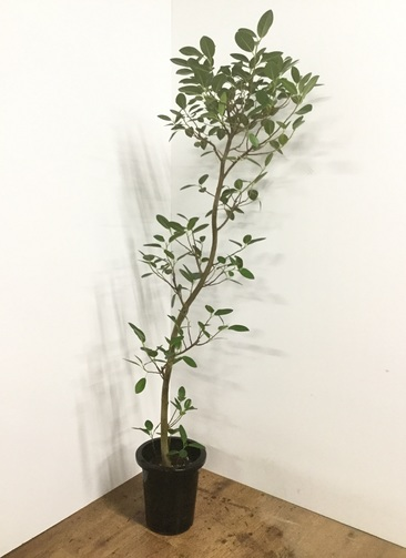観葉植物 【160cm】フランスゴムの木 8号 曲り #22154