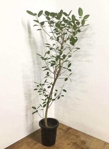 観葉植物 【160cm】フランスゴムの木 8号 曲り #22155