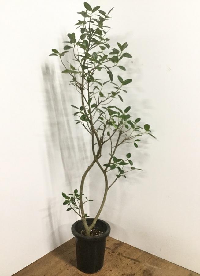 観葉植物 8号 曲り 【160cm】フランスゴムの木 8号 曲り #22156