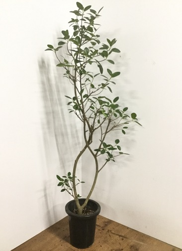 観葉植物 【160cm】フランスゴムの木 8号 曲り #22156