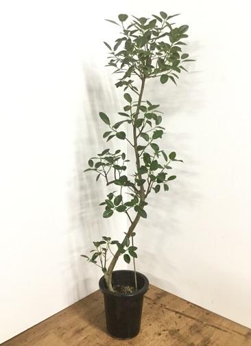 観葉植物 【155cm】フランスゴムの木 8号 曲り #22158