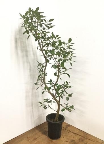 観葉植物 【155cm】フランスゴムの木 8号 曲り #22159