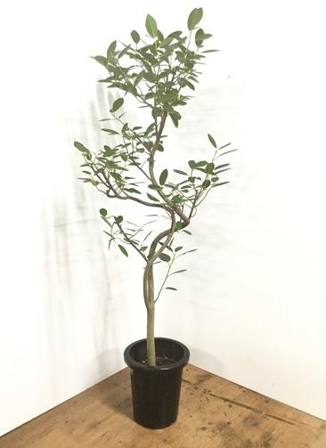 観葉植物 【145cm】フランスゴムの木 8号 曲り #22160