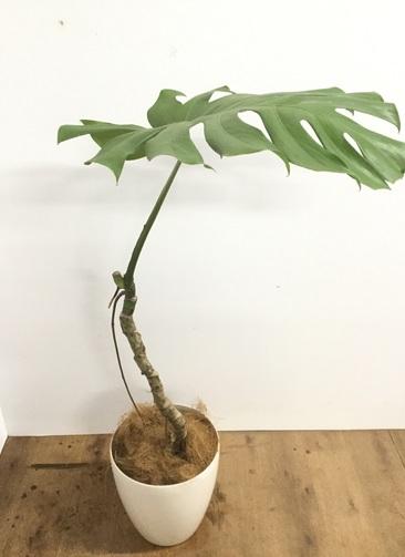 観葉植物 【120cm】【鉢カバー付】モンステラ 8号 根上り #22161