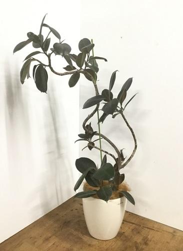 観葉植物 【130cm】【鉢カバー付】フィカス バーガンディ 8号 曲り #22162