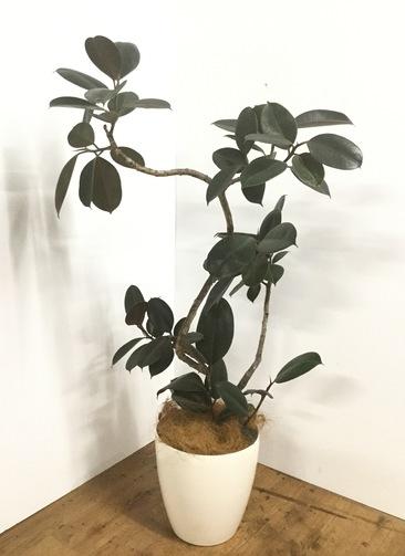 観葉植物 【135cm】【鉢カバー付】フィカス バーガンディ 8号 曲り #22163
