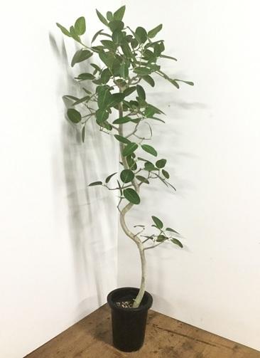 観葉植物 【175cm】フィカス ベンガレンシス 8号 曲り #22165