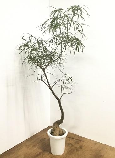 観葉植物 【170cm】ボトルツリー 8号 曲り #22166