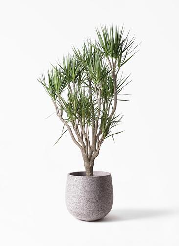 観葉植物 ドラセナ コンシンネ 10号 一本立ち エコストーンGray 付き