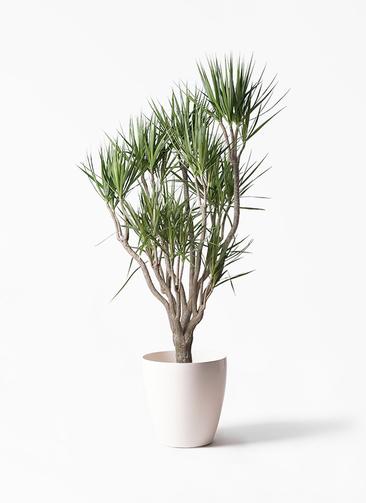観葉植物 ドラセナ コンシンネ 10号 一本立ち ラスターポット 付き