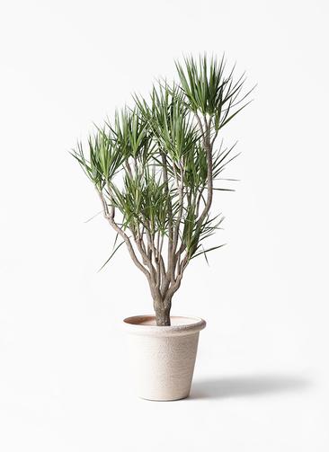 観葉植物 ドラセナ コンシンネ 10号 一本立ち ビアスリムス 白 付き