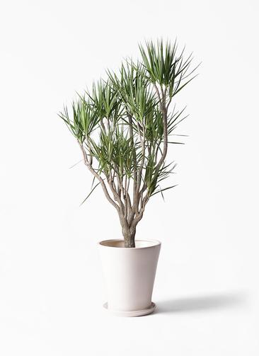 観葉植物 ドラセナ コンシンネ 10号 一本立ち サブリナ 白 付き
