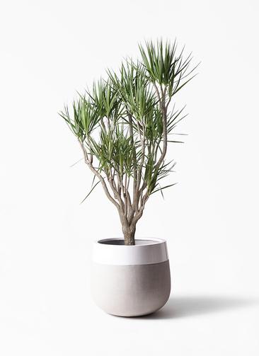 観葉植物 ドラセナ コンシンネ 10号 一本立ち ファイバーストーンタウルス ミドル 白 付き