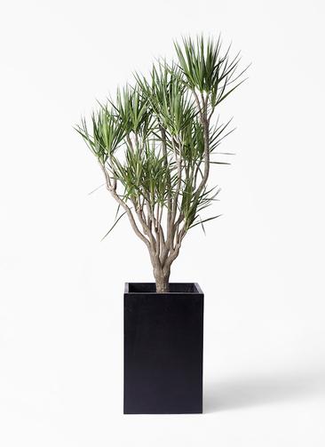 観葉植物 ドラセナ コンシンネ 10号 一本立ち セドナロング 墨 付き
