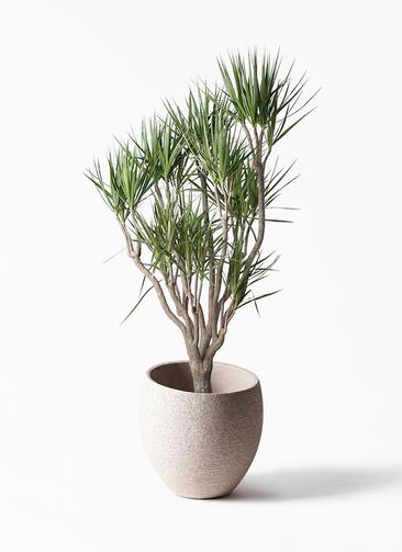 観葉植物 ドラセナ コンシンネ 10号 一本立ち エコストーンLight Gray 付き
