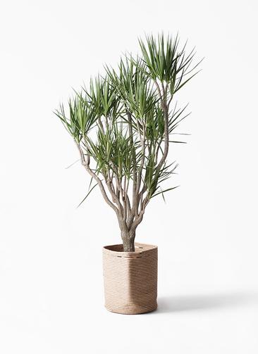 観葉植物 ドラセナ コンシンネ 10号 一本立ち リブバスケットNatural 付き