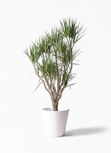 観葉植物 ドラセナ コンシンネ 10号 一本立ち フォリオソリッド 白 付き