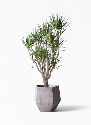 観葉植物 ドラセナ コンシンネ 10号 一本立ち ファイバークレイGray 付き