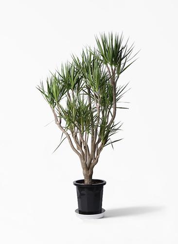 観葉植物 ドラセナ コンシンネ 10号 一本立ち プラスチック鉢