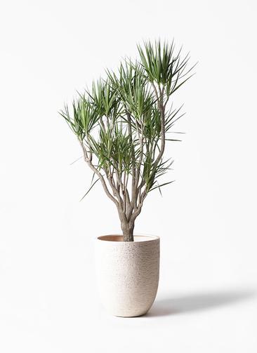 観葉植物 ドラセナ コンシンネ 10号 一本立ち ビアスアルトエッグ 白 付き