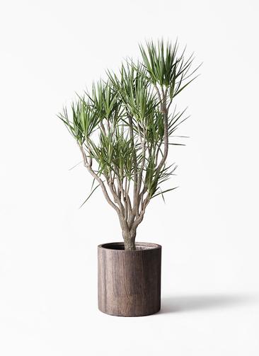 観葉植物 ドラセナ コンシンネ 10号 一本立ち アルファシリンダープランター 付き