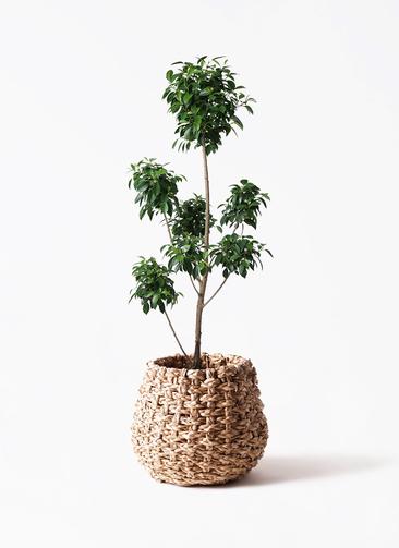 観葉植物 フィカス ナナ 7号 ボサチラシ ラッシュバスケット Natural 付き