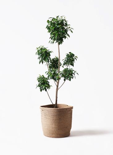 観葉植物 フィカス ナナ 7号 ボサチラシ リブバスケットNatural 付き