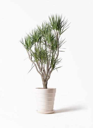 観葉植物 ドラセナ コンシンネ 10号 一本立ち サバトリア 白 付き