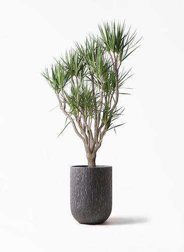 観葉植物 ドラセナ コンシンネ 10号 一本立ち カルディナトールダークグレイ 付き